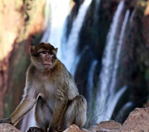 Monkeys in Ouzoud waterfalls. Image